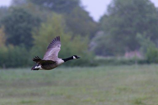 Canada Goose, Bird, Flying, Goose, Waterfowl
