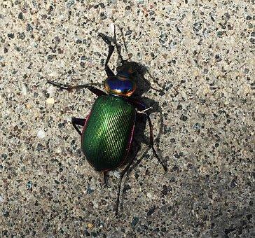 Inset, Caterpillar Hunter, Beetle, Ground, Green, Probe