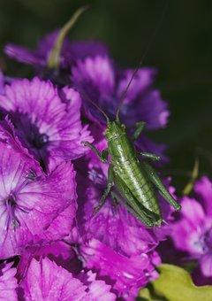 Grasshopper, Insect, Nature, Summer, Fauna, Flora