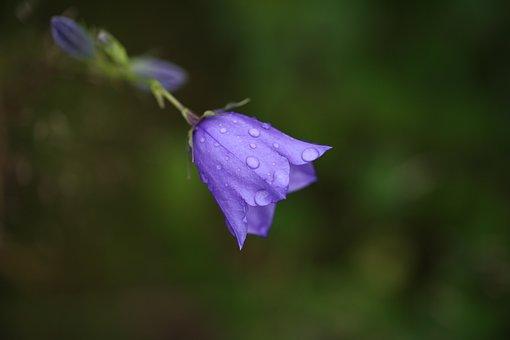 Harebell, Flower, Dew, Wet, Dewdrops, Plant, Campanula