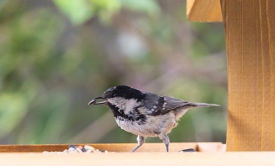 Coal Tit, Fledgling, Bird, Seed, Feed, Chick, Tit