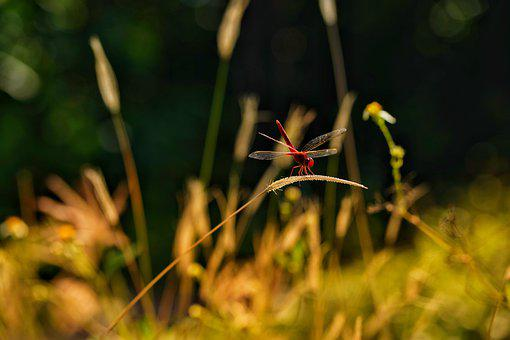 Golden Hour, Red, Dragon Fly, Sunset, Nature