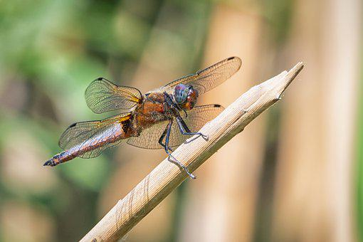Dragon-fly, Insect, Dragonfly, Insects, Nature, Animal