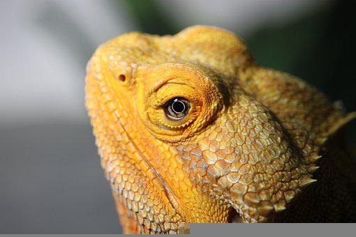Bearded Dragon, Lizard, Animal, Head, Eye, Reptile