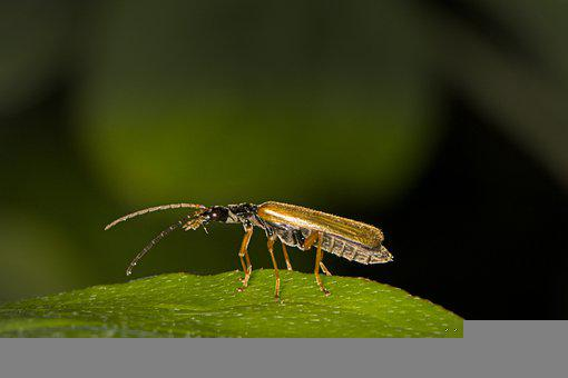 Beetle, Soldier Beetle, Insect, Probe, Elytron