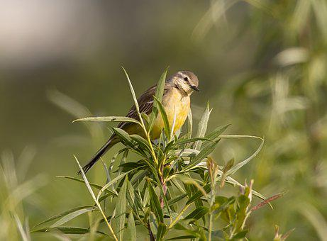 Yellow Wagtail, Bird, Branch, Perched