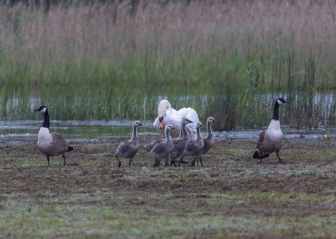 Canada Geese, Swan, Birds, Chicks, Waterfowls