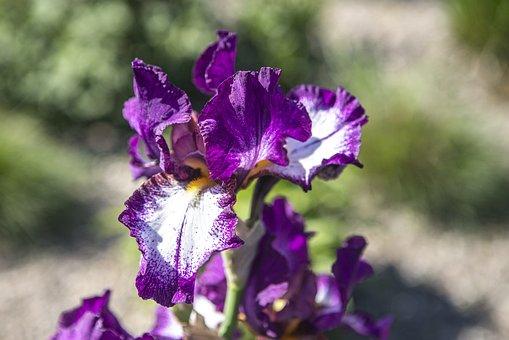 Hao Iris, Purple, Tree, Flower, Violet, Blooming