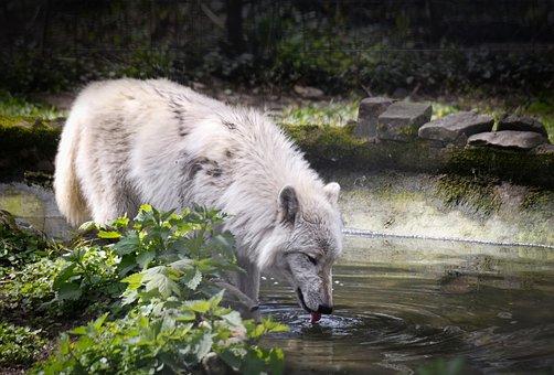 Polarwolf, Wolf, Animal, Predator, Nature, Carnivores