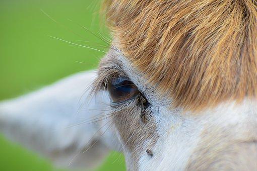Cow, Head, Eye, Animal, Mammal, Livestock, Nature