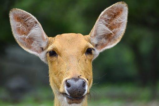 Deer, Animal, Head, Ears, Mammal, Wildlife, Wild