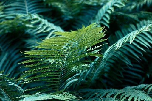 Fern, Fronds, Nature, Foliage, Sheet, Green, Flora