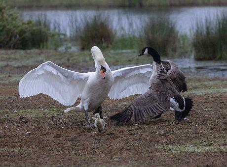 Swan, Canada Goose, Fight, Territory Fight, Chick