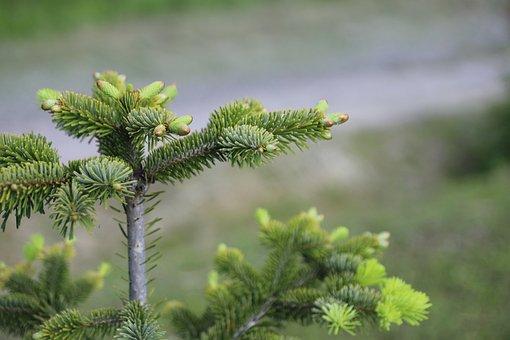 Fir, Caucasian Fir, Nordmann Spruce, Tree, Needles