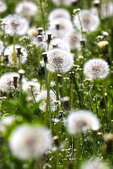 Flowers, Dandelions, Meadow, Plants, Spring, Flora