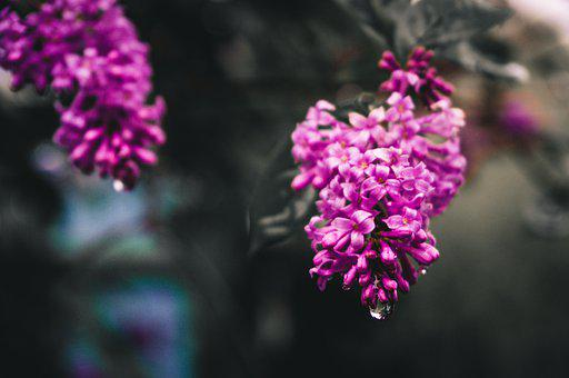 Lilac, After The Rain, Nature, Flower, Flowers, Focus