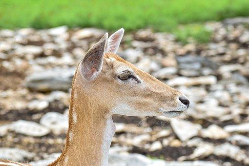 Deer, Animal, Wildlife, Head, Whitetail, Doe, Stag