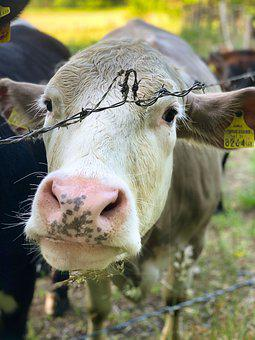 Cow, Barbed Wire, Snout, Head, Cow Head, Farm Animal