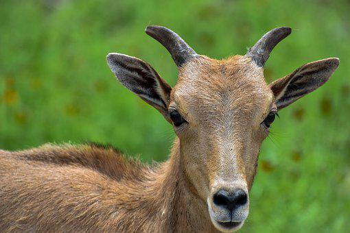 Goat, Kid, Animal, Young Goat, Mammal, Livestock, Head