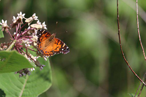 American Lady Butterfly, Butterfly, Flowers, Insect