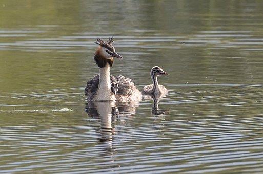 Great Crested Grebe, Chick, Lake, Birds, Juvenile Bird