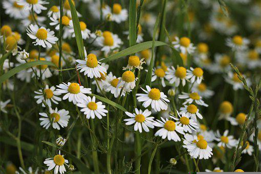 German Chamomiles, White Flowers, Matricaria Chamomilla