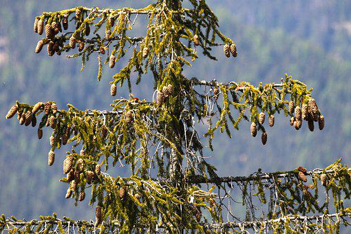 Spruce, Tap, Tree, Nature, Branch, Forest, Needles
