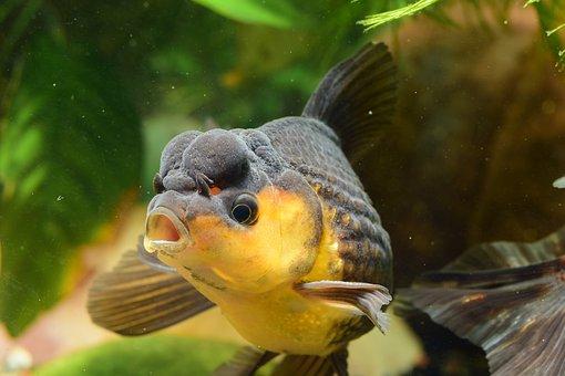 Goldfish, Fish, Aquarium, Pearl Crown Goldfish