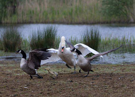 Swan, Canada Geese, Fight, Territory Fight, Chicks