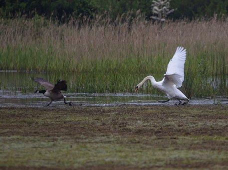 Swan, Canada Goose, Fight, Territory Fight, Birds