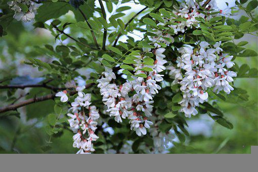 Acacia, Branch, Plant, Tree, White Flowers, Spring
