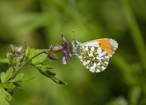 Orange-tip, Butterfly, Flower, Pollinate, Pollination