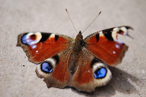 Butterfly, Peacock, Broken Wing, Peacock Butterfly