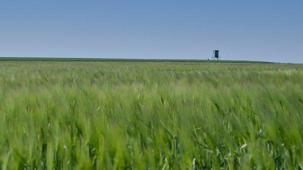 Grain, Field, Cereals, Agriculture, Wheat, Cornfield