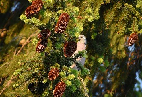 Spruce, Tree, Ringdove, Bird, Dove, Pigeon, Perched