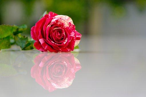Flower, Rose, Petals, Love, Beauty, Drops, Romantic