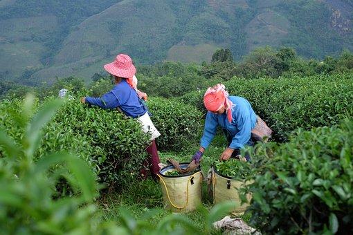 Farmers, Harvest, Tea Plantation, Chiang Rai, Farming
