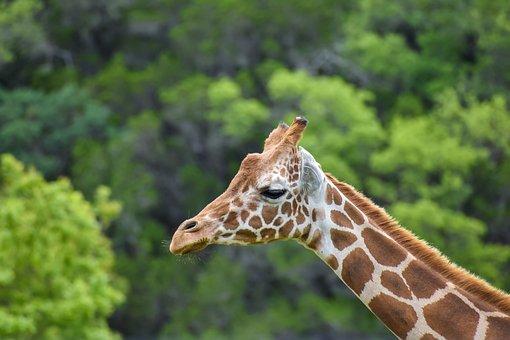Giraffe, Animal, Wildlife, Head, Mammal, Wild, Safari