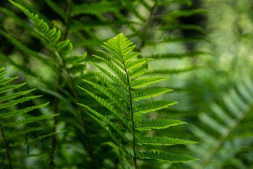 Fern, трава, зелень, Green, Nature