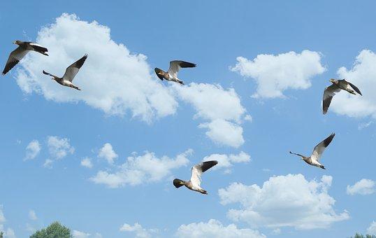 Grey-headed Lapwing, Lapwing, Flight, Migratory, Swarm
