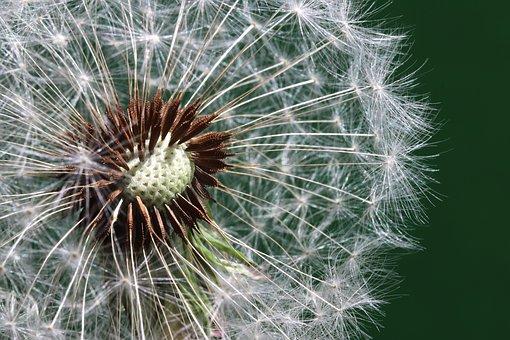 Flower, Dandelion, Macro, Wildflower, Seeds, Seed Head
