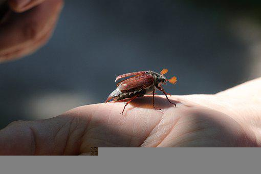 Beetle, Maikäfer, Insect, May, Nature, Spring, Animal