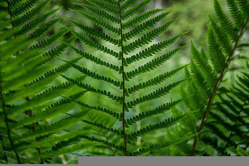 трава, Fern, Green, Nature