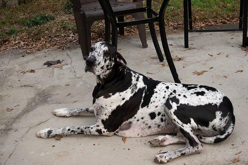 Dog, Great Dane, Canine, Companion, Friend, Purebred