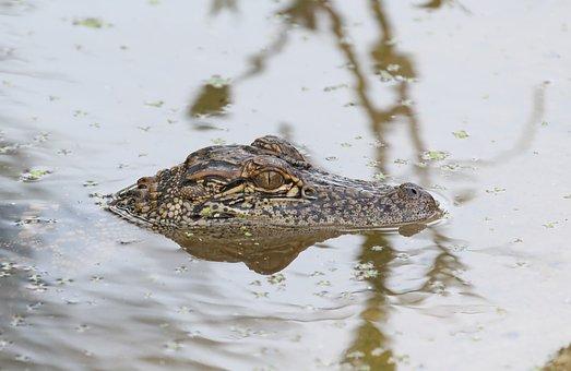 Alligator, Animal, River, Head, Reptile, Wildlife