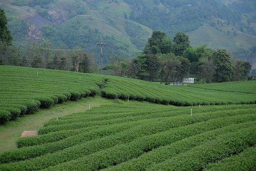 Tea Plantations, Farm, Agriculture, Farmlands, Tea Farm