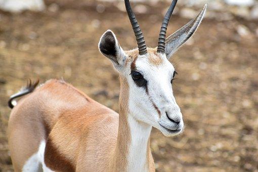Springbok, Animal, Wildlife, Antelope, Young Animal