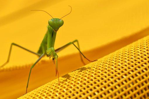 Praying Mantis, Mantis, Insect, Antennae, Animal