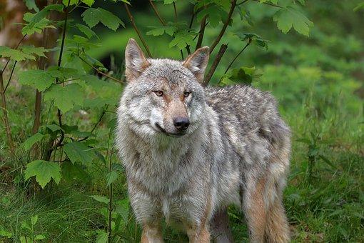 Wolf, Animal, Wildlife, Gray Wolf, Canis Lupus
