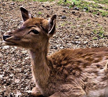 Young Deer, Close Up, Nature, Fawn, Wild, Animal World